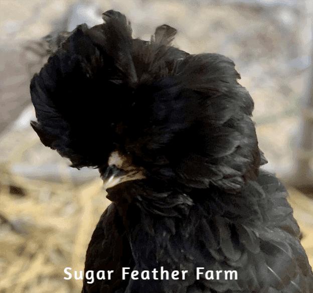 Crevecoeur Hen