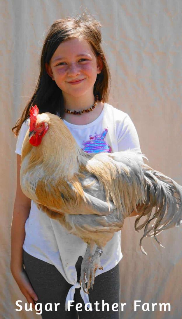 hedemora rooster