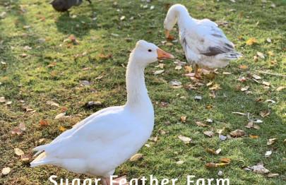 roman tufted goose