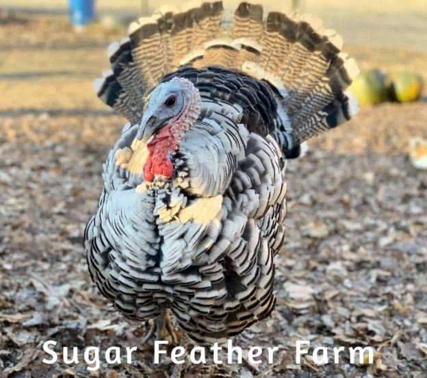 Narraganset turkey
