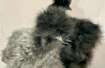 Silkie Fully Feathered