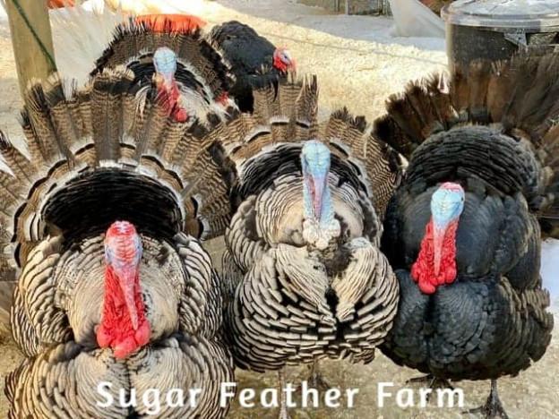 Heritage Turkeys