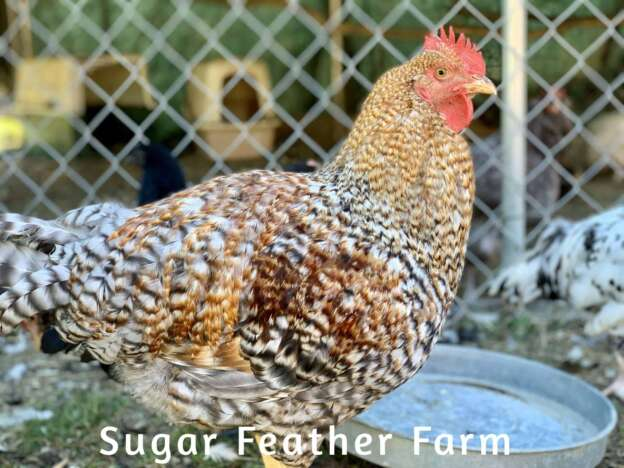 bielfelder rooster
