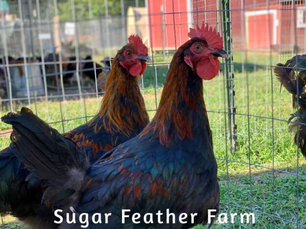 Copper Maran Roosters