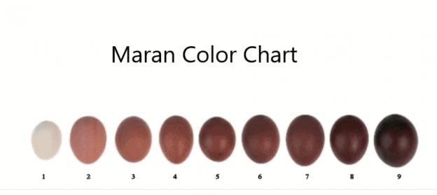 Maran Chicken Egg Color Chart